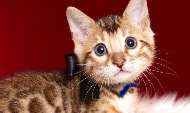 ベンガルの子猫 2018/10/4生まれ 588番ブラック君 オス3