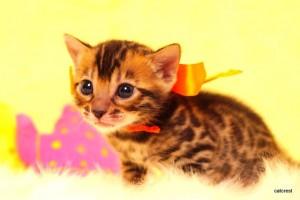 ベンガル子猫 187番オレンジ君