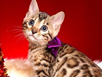 ベンガルの子猫 2018/10/4生まれ 587番パープルちゃん メス6