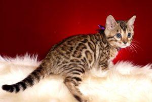 ベンガルの子猫 2018/10/4生まれ 587番パープルちゃん メス2