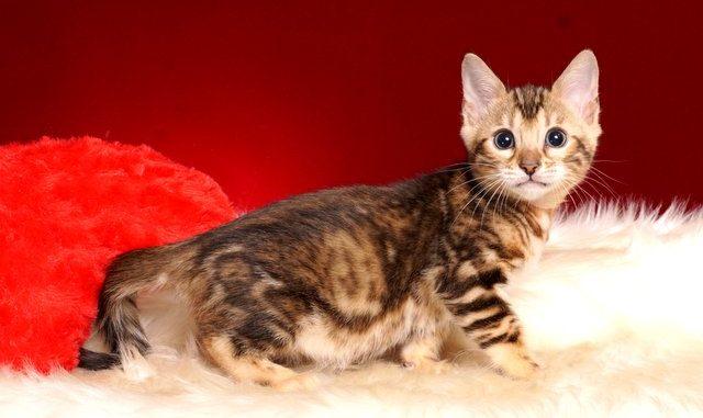 ベンガルの子猫 2018/10/4生まれ 585番ピンクちゃん メス1