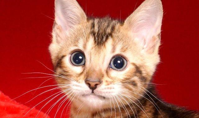 ベンガルの子猫 2018/10/4生まれ 585番ピンクちゃん メス2