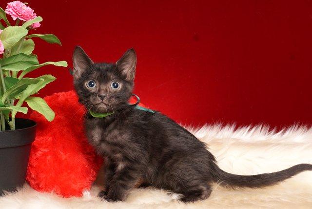ベンガルの子猫 2018/10/4生まれ 584番グリーン君 オス1