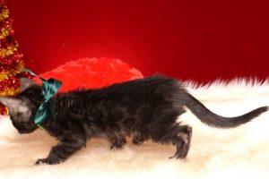 ベンガルの子猫 2018/10/4生まれ 584番グリーン君 オス3