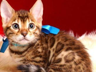 ベンガルの子猫 2018/10/8生まれ 575番ブルー君 オス1