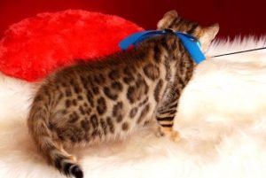 ベンガルの子猫 2018/10/8生まれ 575番ブルー君 オス5
