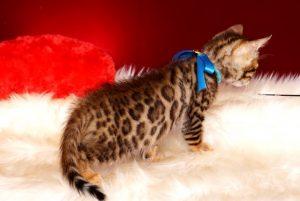 ベンガルの子猫 2018/10/8生まれ 575番ブルー君 オス6