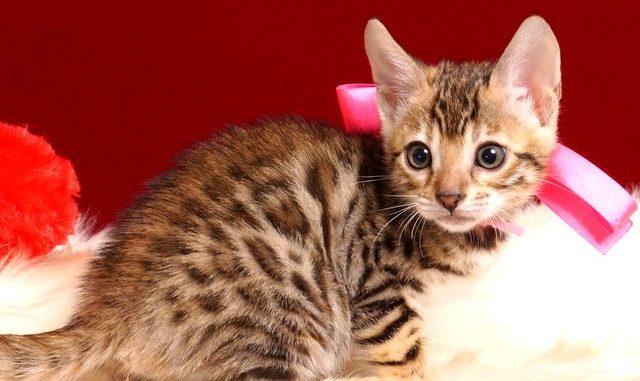ベンガルの子猫 2018/10/8生まれ 573番ピンクちゃん メス4