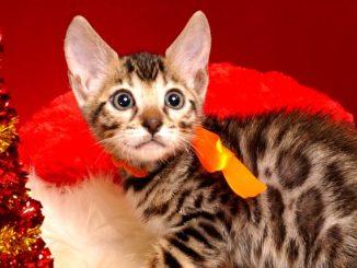 ベンガルの子猫 2018/10/8生まれ 571番オレンジ君 オス1