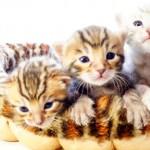 ベンガル子猫