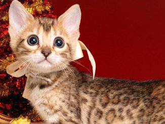 ベンガルの子猫 2018/10/1生まれ 581番ホワイトちゃん メス1