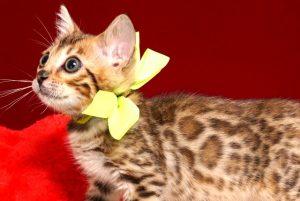 ベンガルの子猫 10/1生まれ 583番イエロー君 オス1