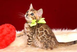 ベンガルの子猫 10/1生まれ 583番イエロー君 オス2