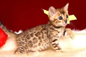 ベンガルの子猫 10/1生まれ 583番イエロー君 オス3