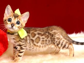 ベンガルの子猫 10/1生まれ 583番イエロー君 オス4