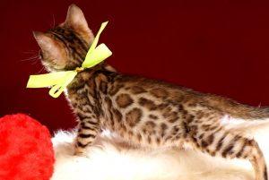 ベンガルの子猫 10/1生まれ 583番イエロー君 オス5