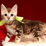 ベンガルの子猫 10/10生まれ 590番イエローちゃん メス1