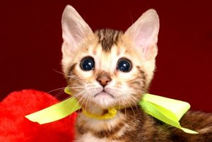 ベンガルの子猫 10/10生まれ 590番イエローちゃん メス2