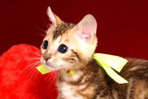 ベンガルの子猫 10/10生まれ 590番イエローちゃん メス3