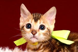 ベンガルの子猫 10/10生まれ 590番イエローちゃん メス4