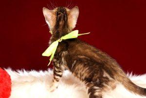 ベンガルの子猫 10/10生まれ 590番イエローちゃん メス5