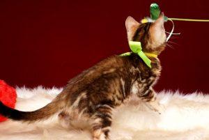 ベンガルの子猫 10/10生まれ 590番イエローちゃん メス6