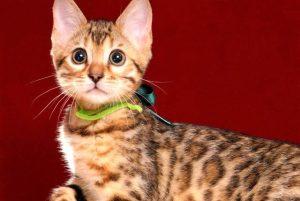 ベンガルの子猫 10/11生まれ 593番グリーン君 オス7
