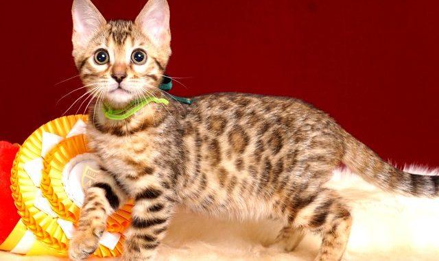 ベンガルの子猫 10/11生まれ 593番グリーン君 オス2