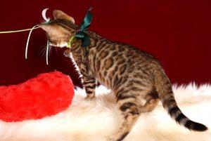 ベンガルの子猫 10/11生まれ 593番グリーン君 オス3