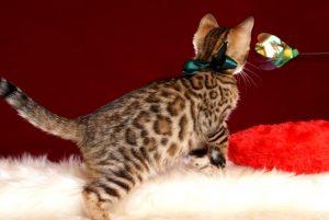 ベンガルの子猫 10/11生まれ 593番グリーン君 オス4