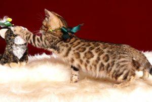 ベンガルの子猫 10/11生まれ 593番グリーン君 オス5