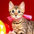 ベンガルの子猫 10/11生まれ 592番ピンクちゃん メス1