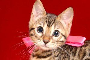 ベンガルの子猫 10/11生まれ 592番ピンクちゃん メス3
