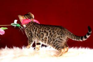 ベンガルの子猫 10/11生まれ 592番ピンクちゃん メス4