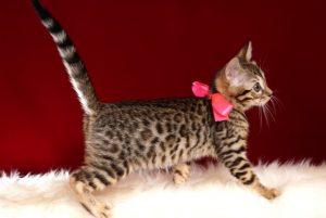 ベンガルの子猫 10/11生まれ 592番ピンクちゃん メス5