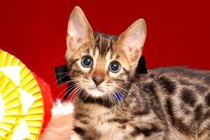 ベンガルの子猫 10/14生まれ 579番ブラック君 オス1