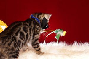 ベンガルの子猫 10/14生まれ 579番ブラック君 オス4