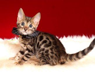 ベンガルの子猫 10/14生まれ 579番ブラック君 オス6