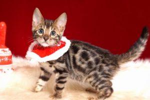 ベンガルの子猫 10/14生まれ 579番ブラック君 オス7