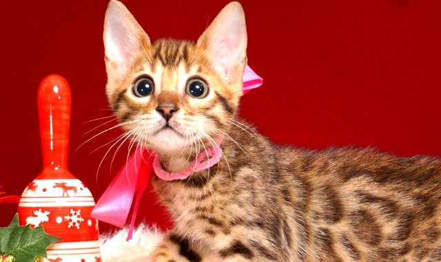 ベンガルの子猫 10/14生まれ 578番ピンクちゃん メス1