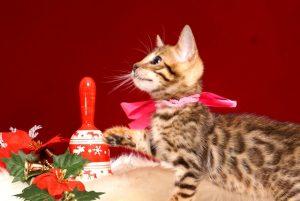 ベンガルの子猫 10/14生まれ 578番ピンクちゃん メス2