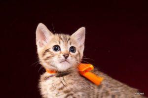 ベンガルの子猫2016年6月10日生まれ 246番オレンジちゃん