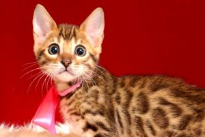 ベンガルの子猫 10/14生まれ 578番ピンクちゃん メス3