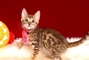 ベンガルの子猫 10/14生まれ 578番ピンクちゃん メス4