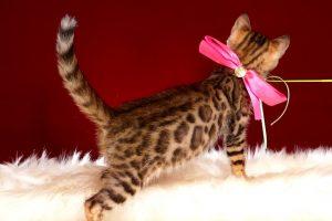 ベンガルの子猫 10/14生まれ 578番ピンクちゃん メス5
