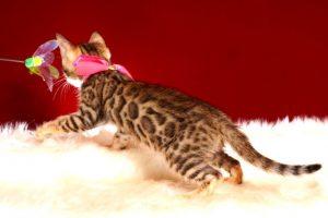 ベンガルの子猫 10/14生まれ 578番ピンクちゃん メス6