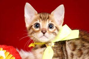 ベンガルの子猫 2018/11/7生まれ 598番イエロー君1