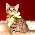 ベンガルの子猫 2018/11/7生まれ 598番イエロー君2