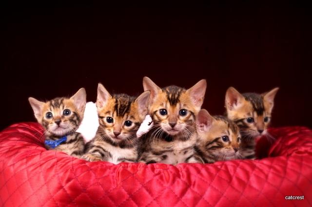 ベンガルの子猫写真 5匹