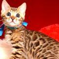 ベンガルの子猫 2018/11/2生まれ 595番ブルー君1